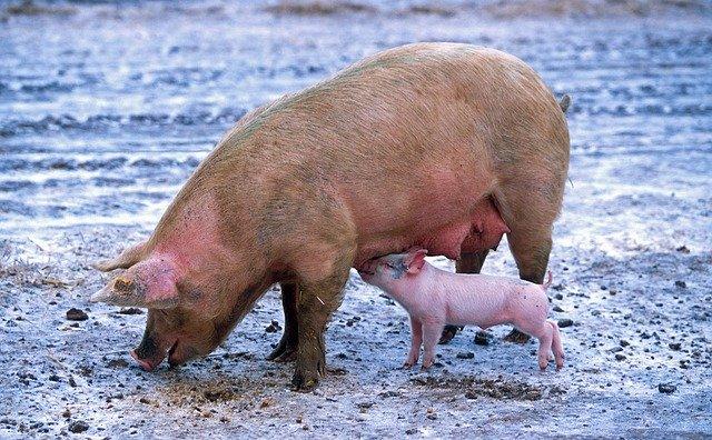 pig farming ghana