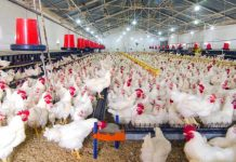 poultry farms