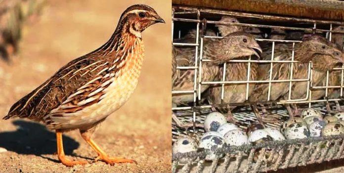 quail farming ghana