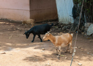 Current Price Of Goat In Ghana, Full Details 1